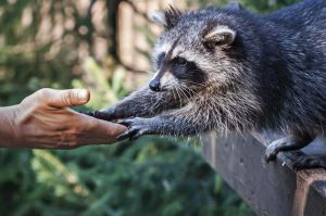 Crypto-enthusiast hands over 100k of Ripple's XRP to Racoon, loses $30k